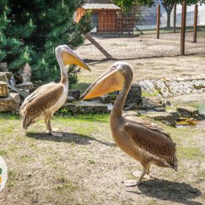 Pelikan Baba - pelikan różowy