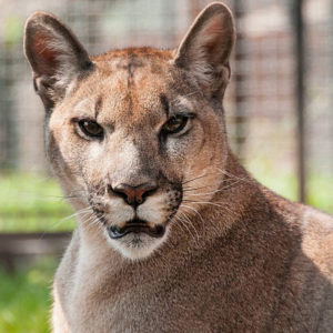 Puma Płowa