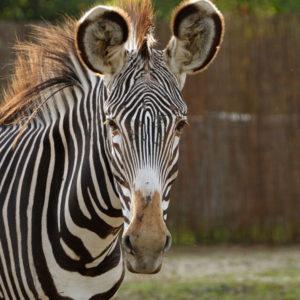 Zebra Grevy'ego